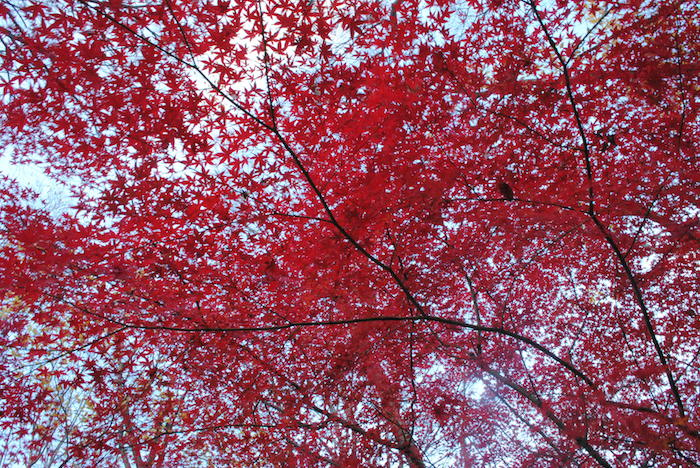 Maples at Nogawa Park (Photo courtesy of Helen Langford)