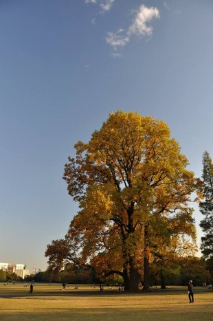 Brilliant yellow in Shinjuku Gyoen (Photo by Mike Kanert)