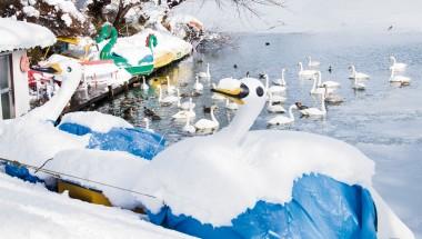 Snowy swans