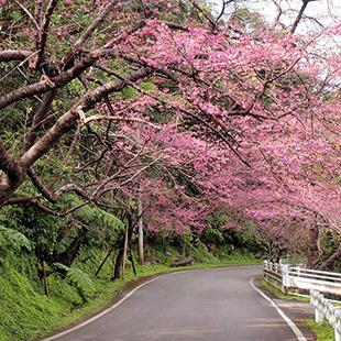 Sakura in Motobu