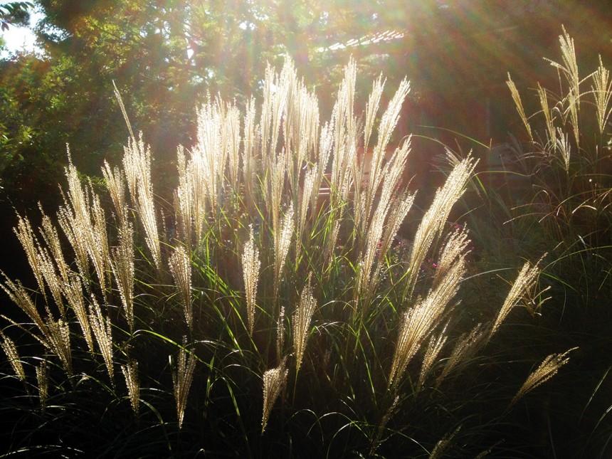 Susuki Grass in Nerima