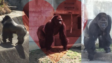 The Handsome Gorilla