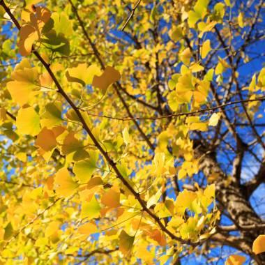 Yellow gingko leaves