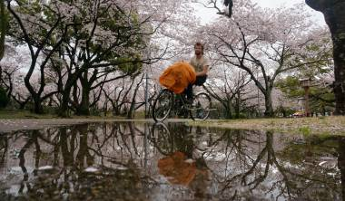 bannercherry-blossoms