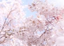 Cherry blossom in Tokyo.