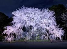 Rikugien Garden Japanese Tokyo Cherry Blossom Sakura Hanami