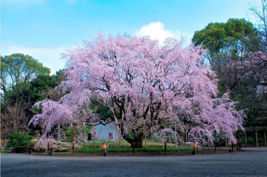 Best Japanese Gardens For Sakura Season Metropolis Magazine Japan