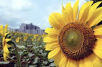 Musashimurayama Sunflower Garden