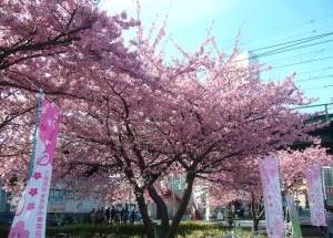 Miura Kaigan Cherry Blossom Festival 2019