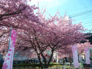 Miura-kaigan-cherry-blossom-festival