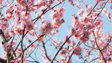 Setagaya, Tokyo Plum Blossom Festival 2019