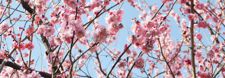 Setagaya plum festival in Hanegi park