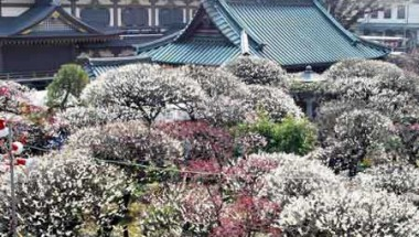 Bunkyo Plum Blossom Festival 2019