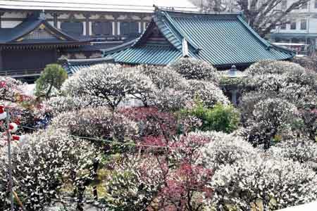 Yushima Tenjin plum blossom