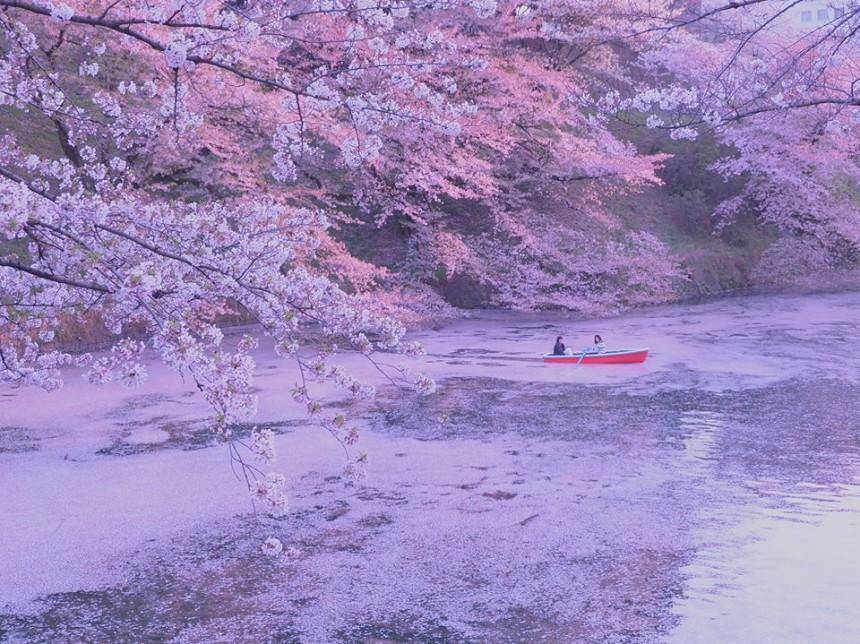 Chiyoda Cherry Blossom Festival Hanami Sakura Chidorigafuchi Moat