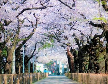 Aoyama Cemetery Sakura Hanami Japan Spring