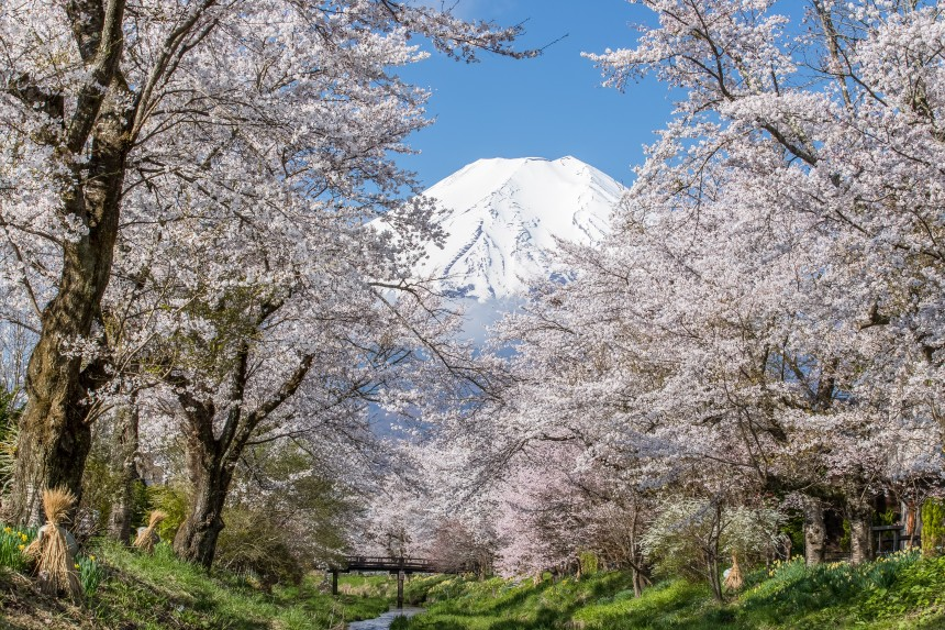 Oshino Hakkai Sakura Hanami Spring Japan