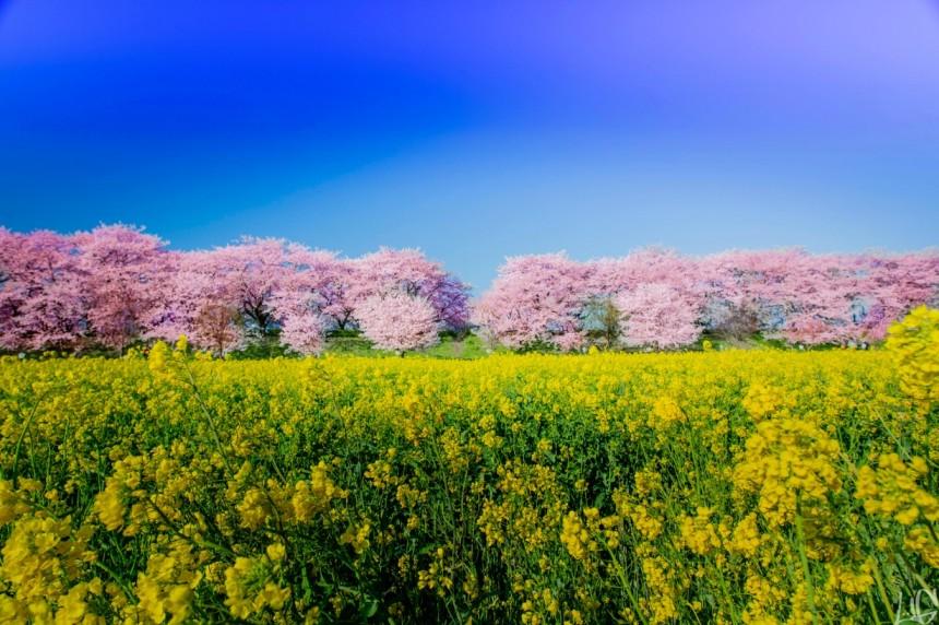 Satte Gongendo Park Sakura Hanami Spring Japan