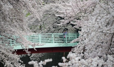 Shakuji River bridge Sakura Hanami Spring Japan