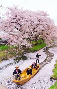 Shingashi River Sakura Hanami Spring Japan