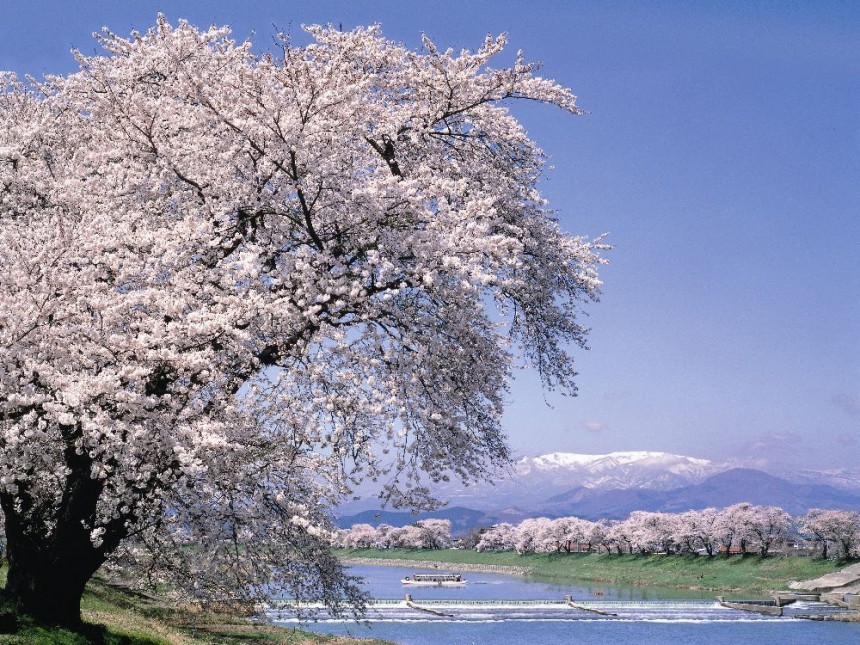 Shirashi River Sakura Hanami Spring Japan