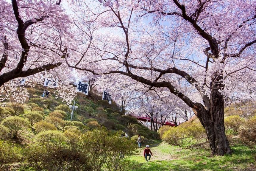 Takato Castle Park Sakura Hanami Spring Japan