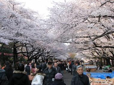 Ueno-park-cherry-blossom