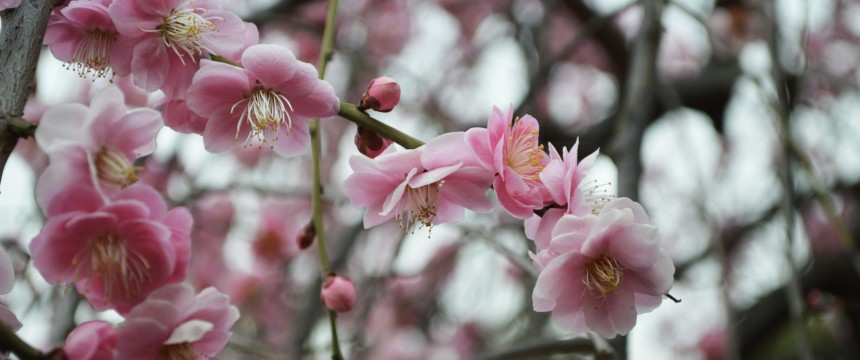 Tokyo International School TIS Cherry Blossom Fair