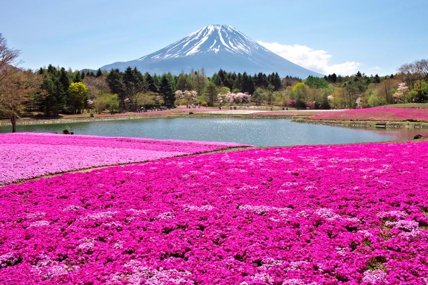 Fuji Shibazakura Festival Mt. Fuji Hanami Spring Cherry Blossom