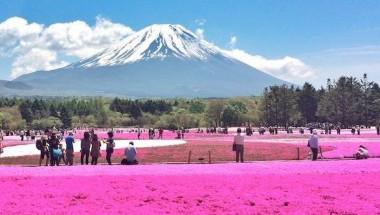 Shiraito Falls and Fuji Shibazakura Festival Trip