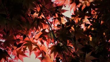 Rikugien Autumn Leaves Light-up