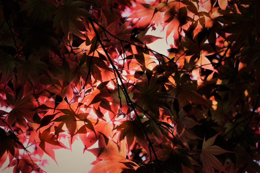 Rikugien Autumn Leaves Light-up