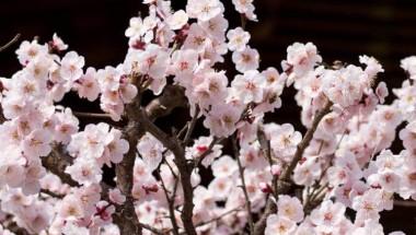 Bunkyo Plum Blossom Festival