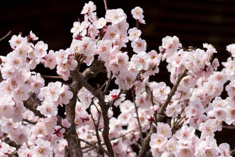 Bunkyo Plum Blossom Festival flower events culture to do