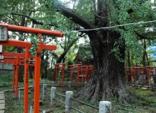The 700-year-old ginkgo tree at the shrine dedicated to Inari (one of the main Shinto gods).