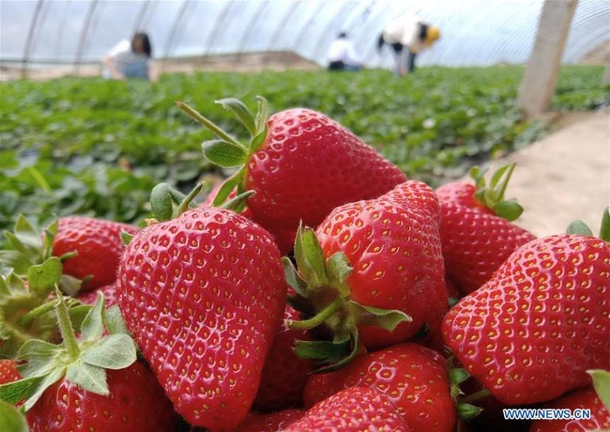 Kamakura Kanko Strawberry Farm