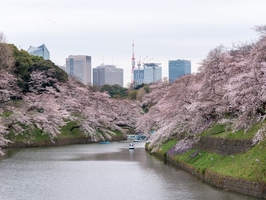 Chidorigafuchi hello hanami sakura green way romantic imperial palace boat