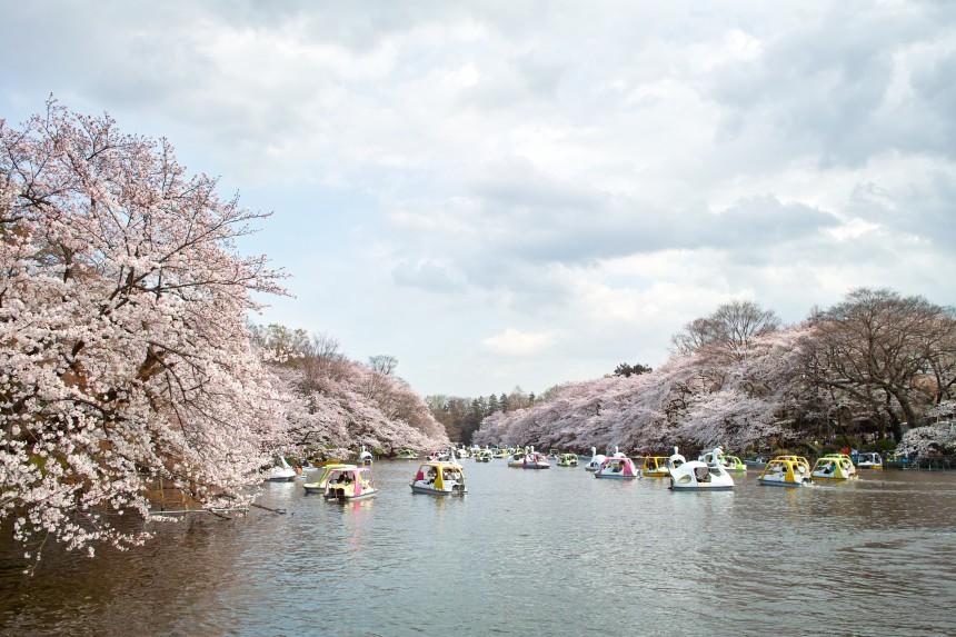 Inokashira Park hello hanami kichijoji tokyo sakura cherry blossom boat zoo aquarium