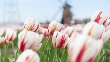 Sakura Tulip Festa