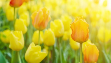 Sakura Tulip Festa 2020