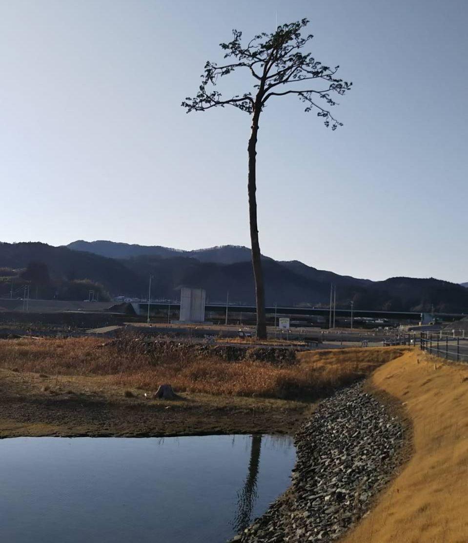 tohoku-earthquake-miracle-pine-metropolis-magazine-japan