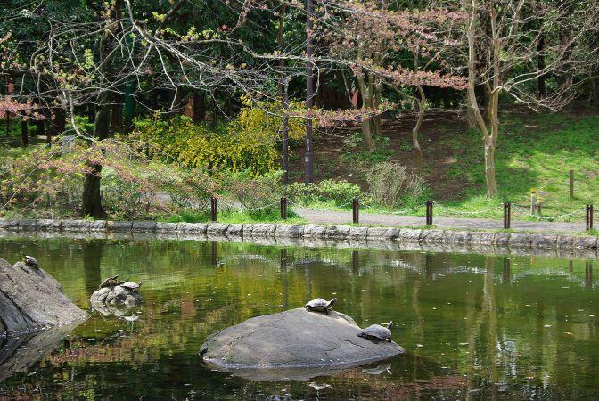 Shinkoenji_Turtles in Sanshi no Mori Park_Photo by Tomofumi Sato