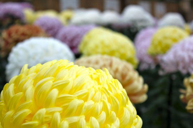 Chrysanthemum, october events